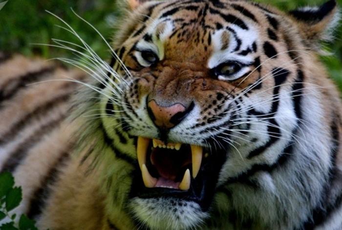 O tigre é bravo...