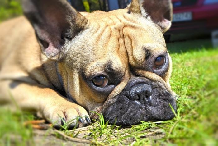 Um cão da raça buldogue francês