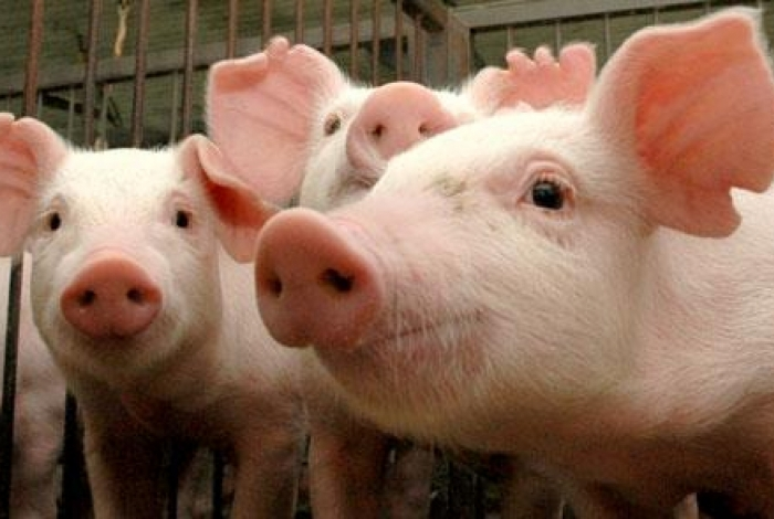 Cientistas reativam funções de células cerebrais de porcos mortos