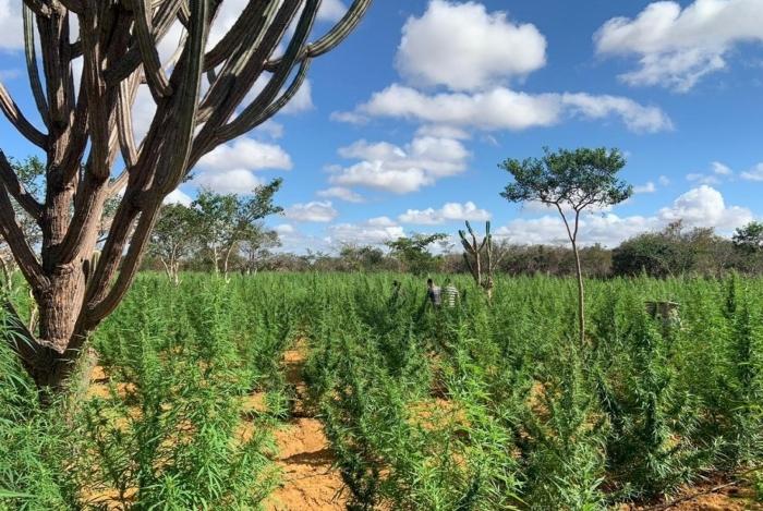 Plantação de 120 mil pés de maconha localizada na Bahia