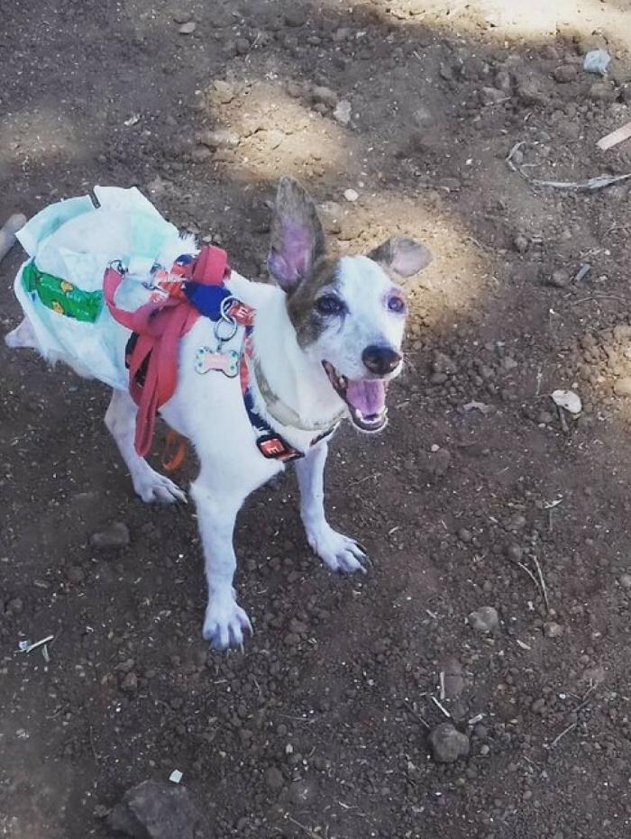 Cadela teve que passar por 3 cirurgias grandes e delicadas, pois estava retendo as fezes