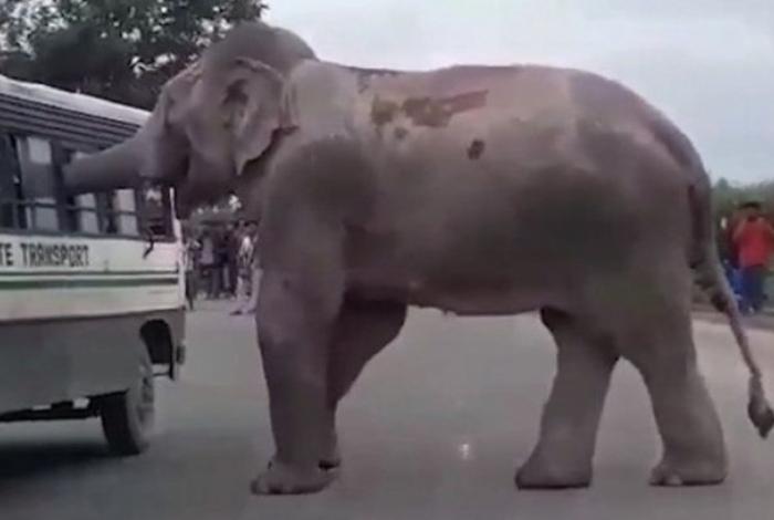 Elefante no momento em que pegava os pertences de uma passageira do ônibus