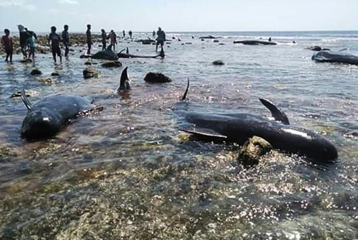 Sete baleias morrem encalhadas em praia na Indonésia