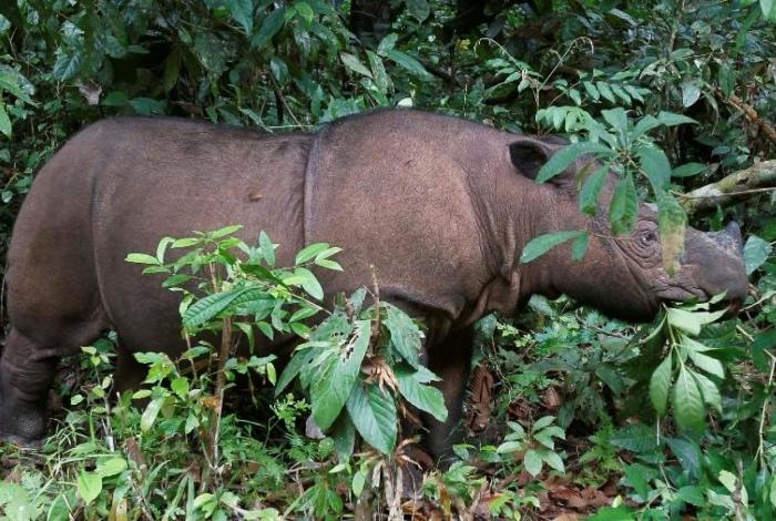 Último espécime de rinoceronte de Sumatra morre na Malásia