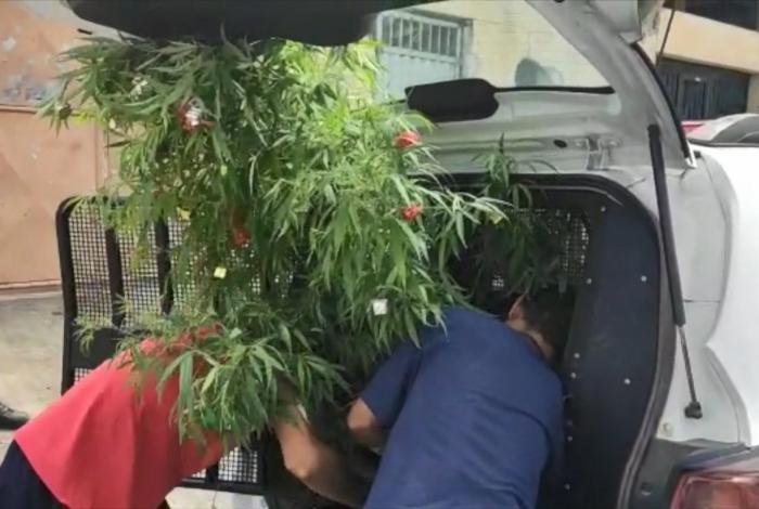 Pés de maconha enfeitados como árvores de Natal foram apreendidos