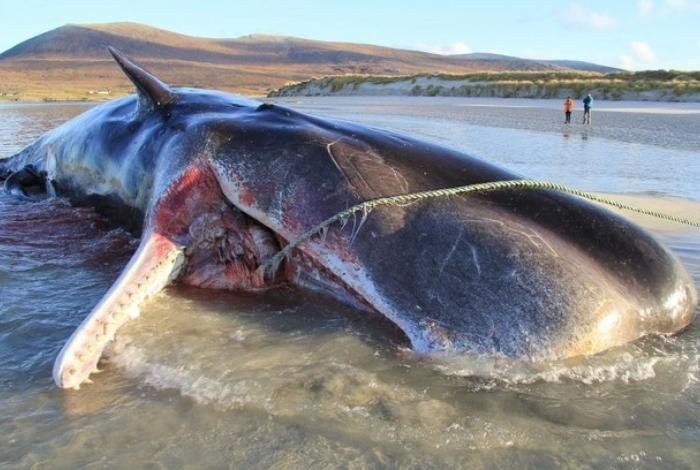 Como a baleia pesava mais de 20 toneladas, as autoridades não conseguiram remover o animal da praia e enterraram a cachalote no próprio local
