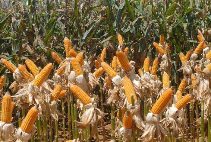 Em relação a 2019, houve acréscimos de 3,5% na área do milho