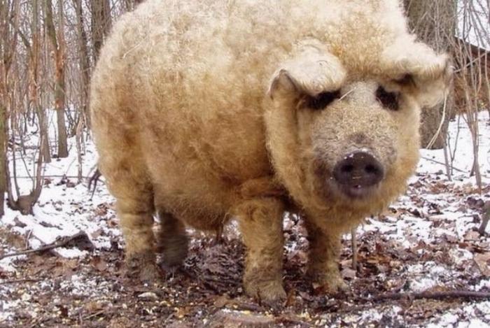 Exemplo de porco da raça mangalitsa