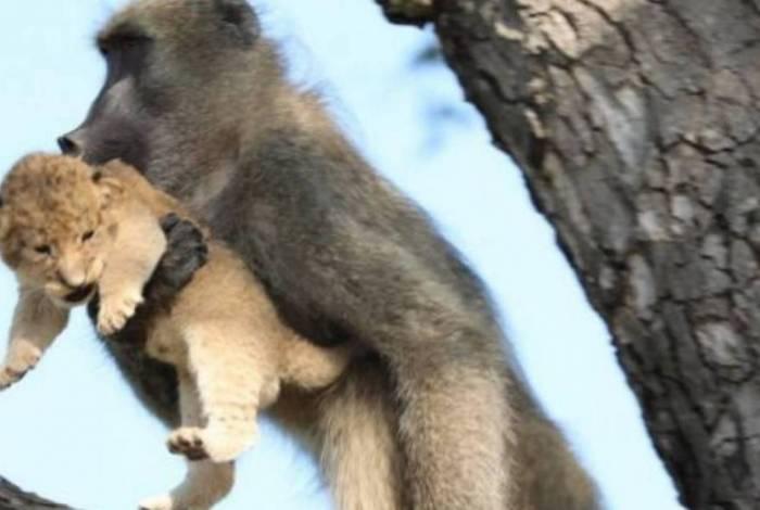 Babuíno recria cena famosa de 'Rei Leão' em parque na África do Sul
