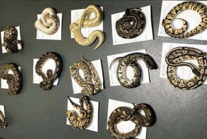 Cobras retiradas de cobertor na Inglaterra