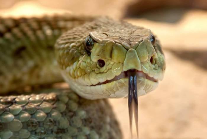 Australiano encontra cobra venenosa dentro de gaveta de meias; assista