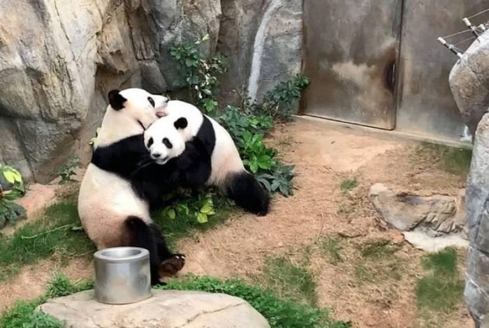 Casal de panda aproveitou a privacidade para acasalar pela primeira vez em dez anos