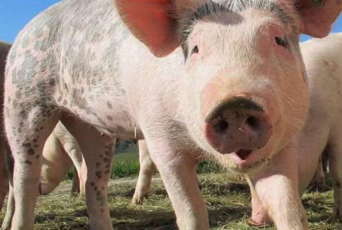 Vírus foi encontrado em porcos na China