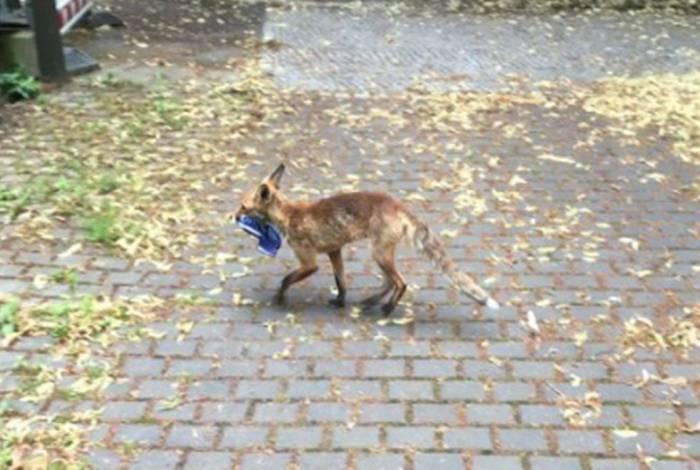 Homem nota sumiço de sapatos e é surpreendido ao saber que raposa furtou mais de 100 pares
