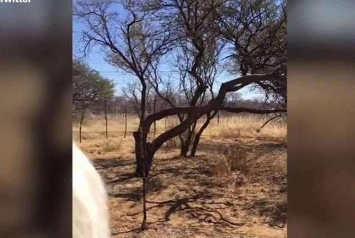 Leopardo surpreende e mata pássaro ao dar um salto ao topo da árvore