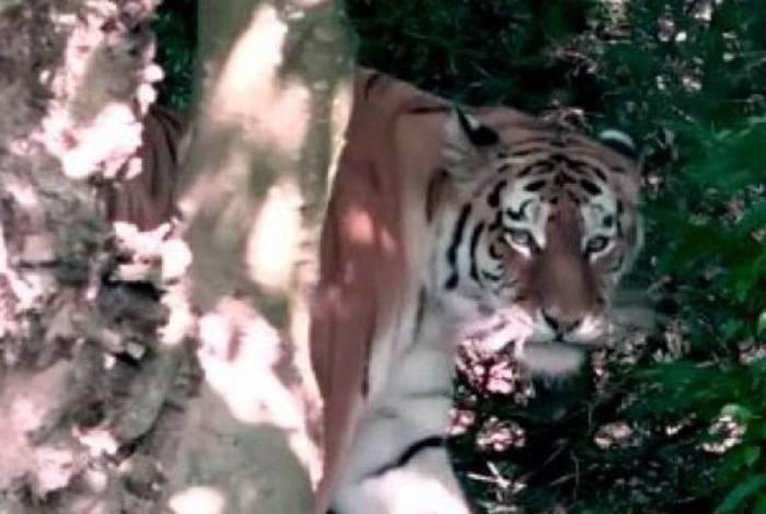 Segundo informações, criança foi surpreendida pelo tigre na espreita