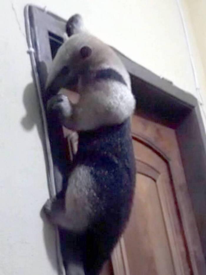 Tamanduá aparece na casa de morador em Queimados