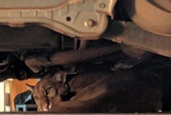 Em extinção, onca-parda aparece em garagem de casa em SP
