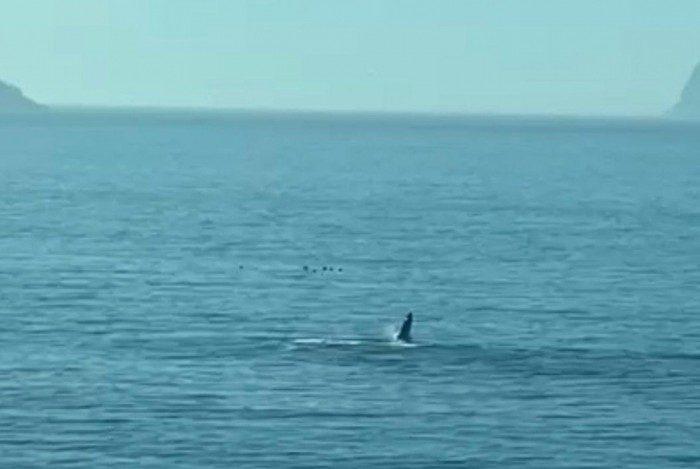 Filhote de baleia Jubarte faz aparição na praia de São Conrado, na Zona Sul do Rio