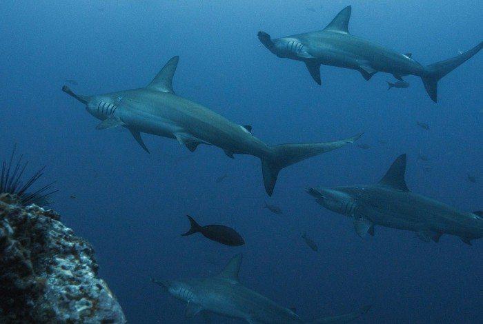 Espécie rara de tubarão-martelo é avistada no litoral brasileiro