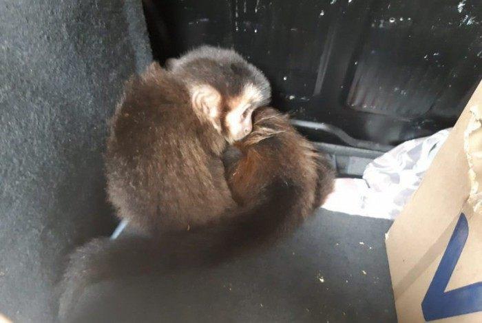 PRF prende homem transportava filhotes de macacos-prego