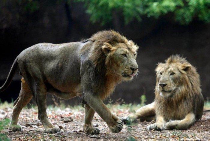 Leão morre após ser diagnosticado com coronavírus