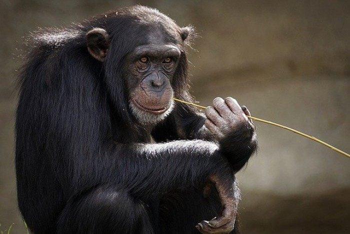 A mulher deprimida teria visitado o chimpanzé, chamado Chita, semanalmente durante quatro anos, no que ela descreveu como um